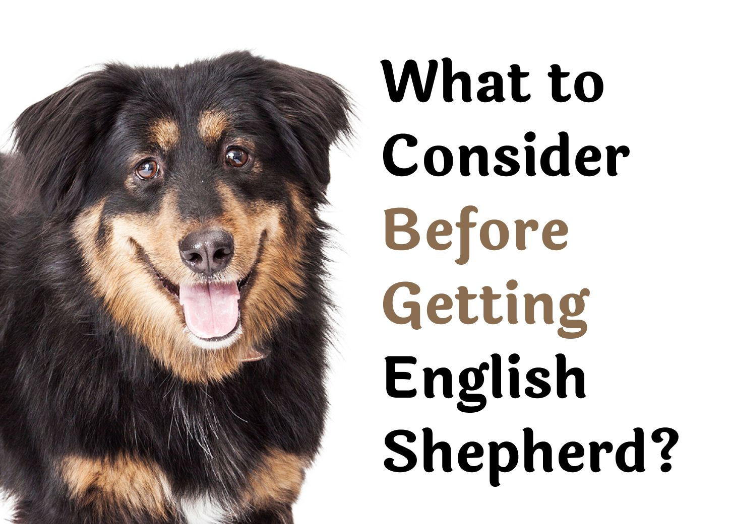 25 Questions То Consider Before Getting An English Shepherd