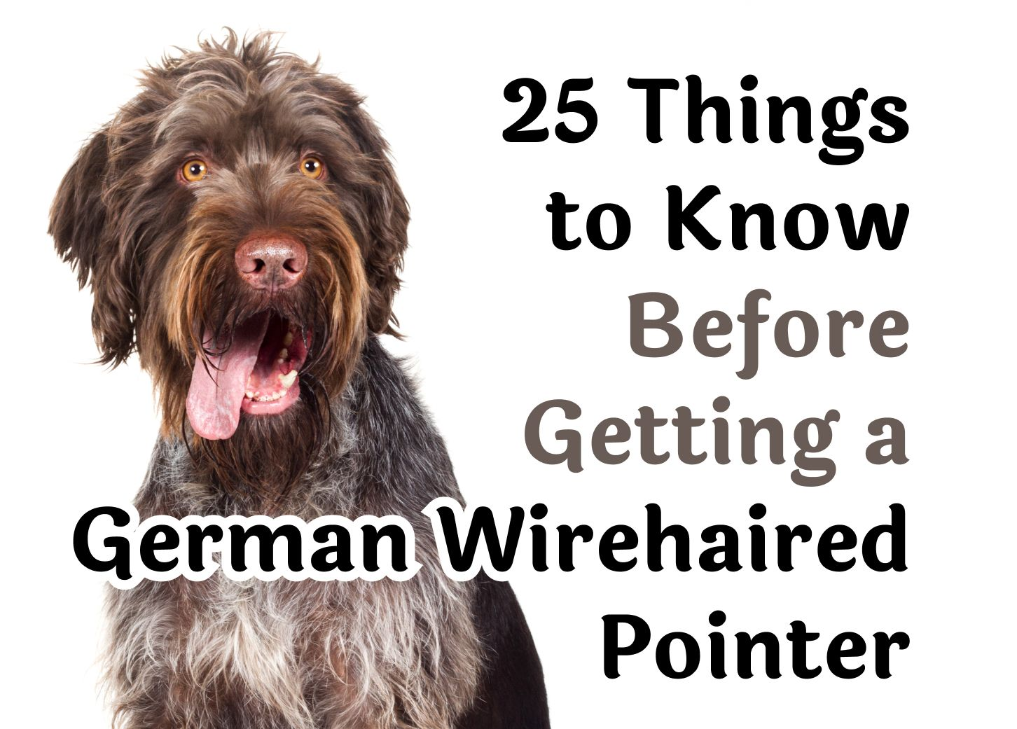 Questions You Should Consider Before Getting A German Wirehaired Pointer