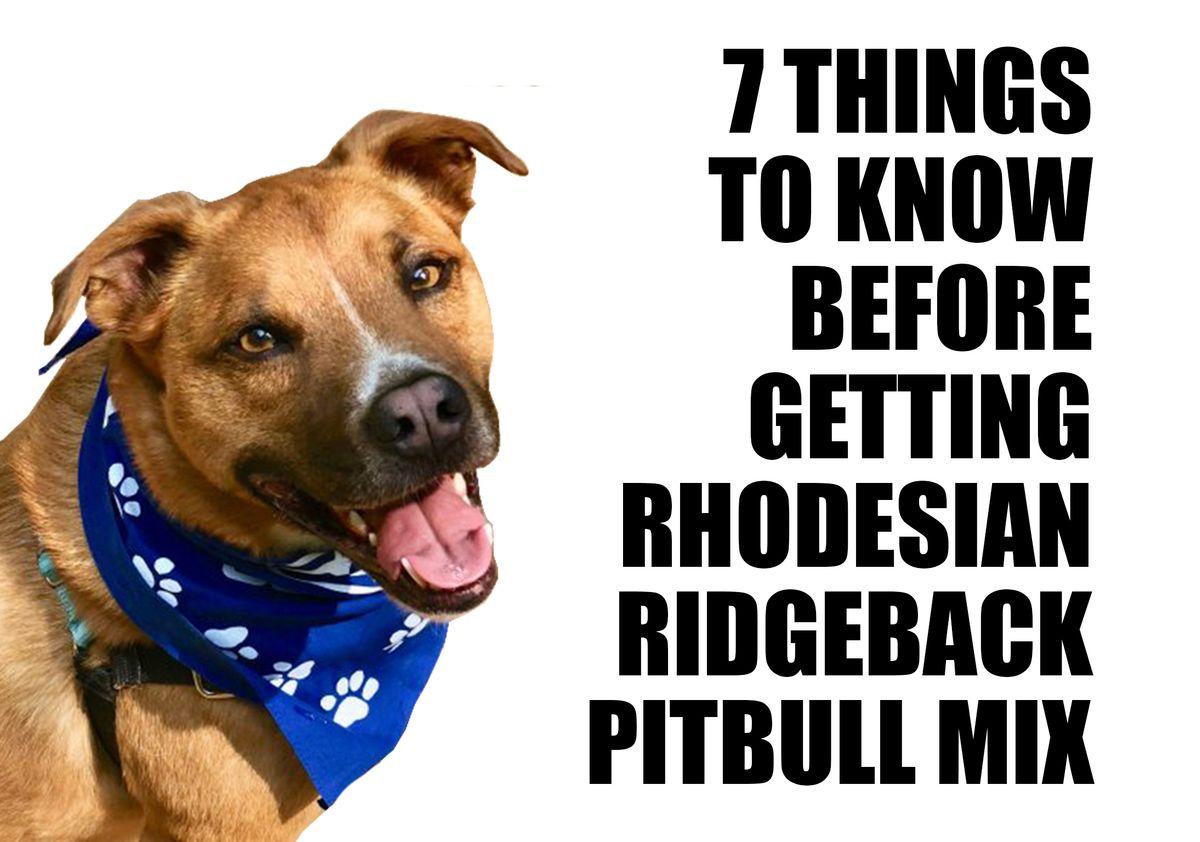 7 things to know before buying Rhodesian Ridgeback Pitbull Mix