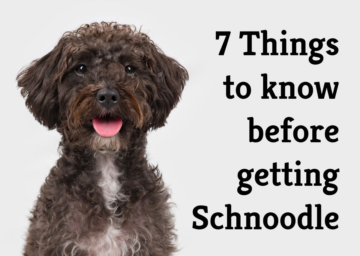 The perfect crossbreed? 7 key points about Schnoodles