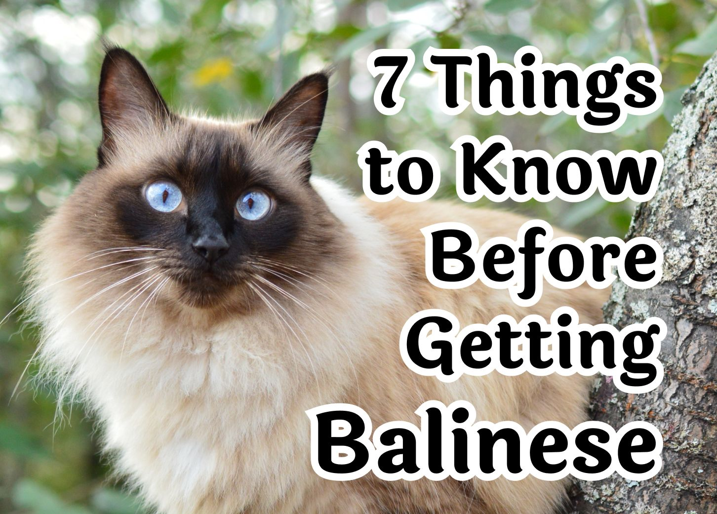 7 Things to Consider Before Getting a Balinese Cat