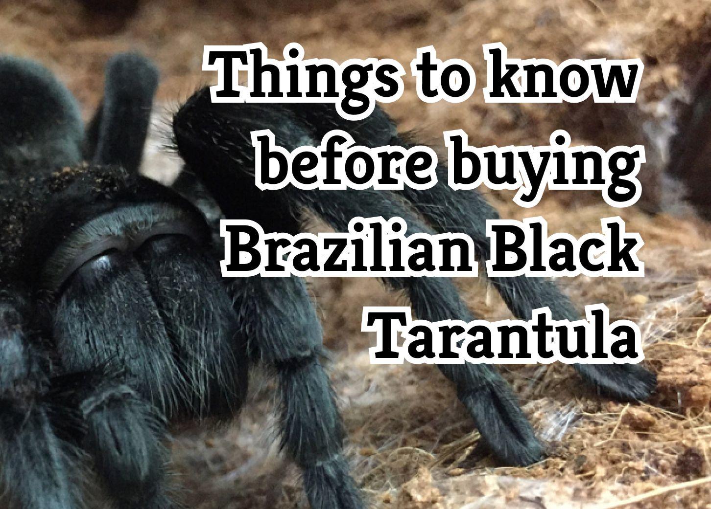 Things to consider before getting a Brazilian Black Tarantula