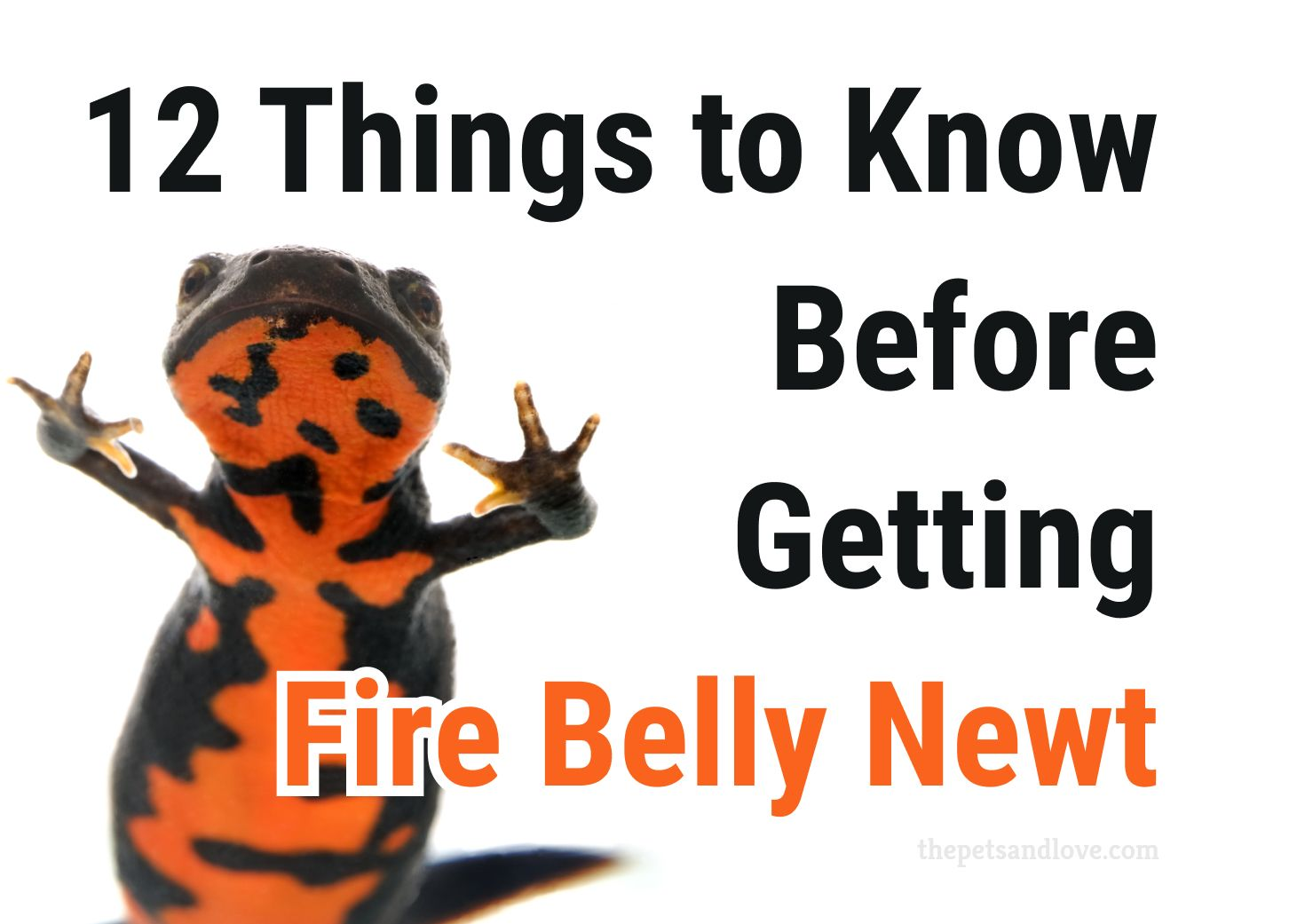Important Things to Know About Fire Belly Newt