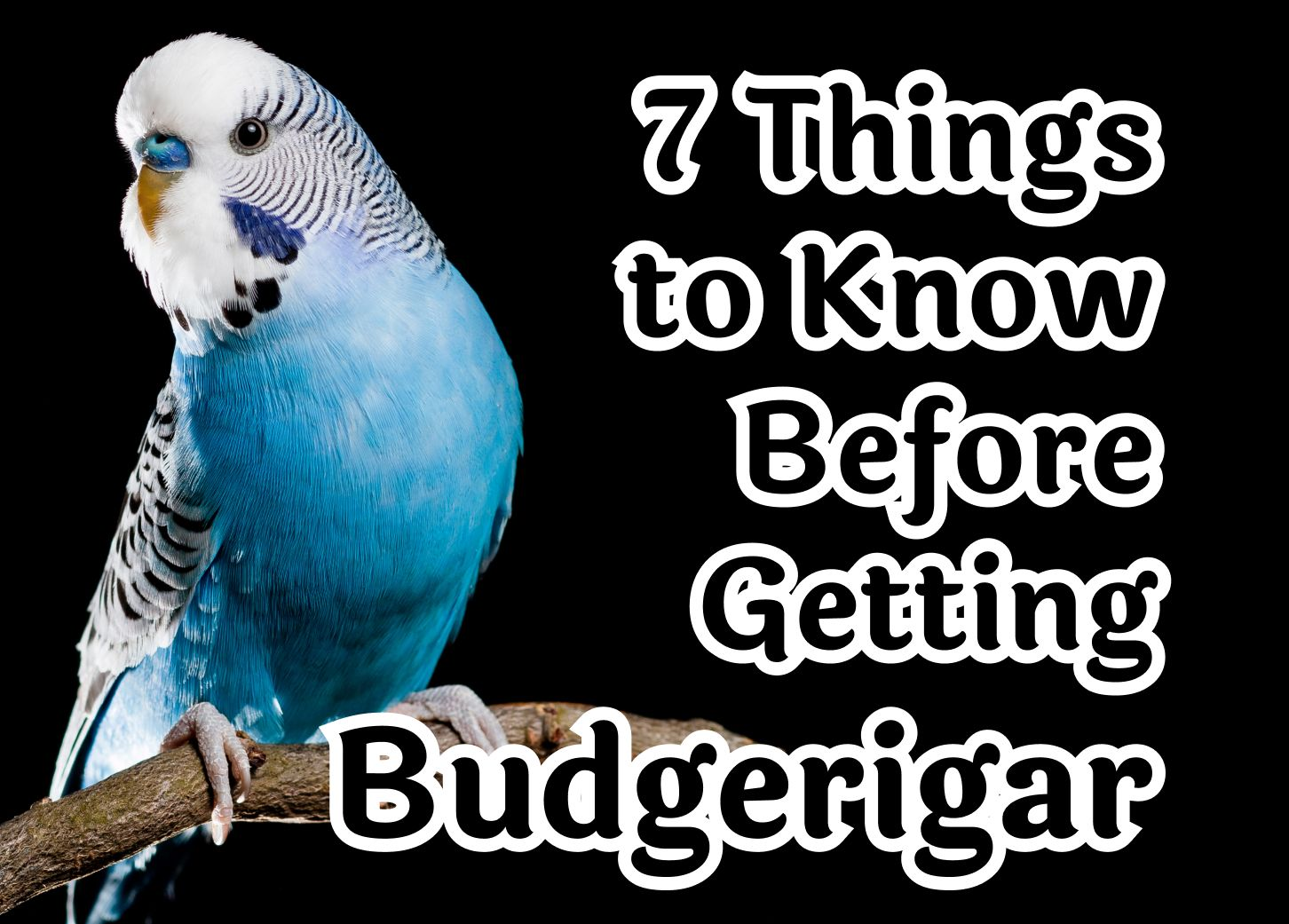 7 Things to Know Before Getting a Budgerigar