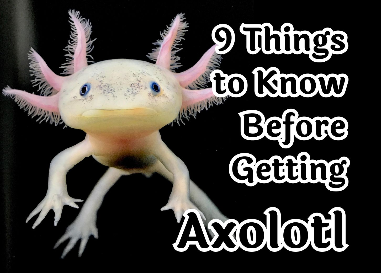9 things to know before getting an Axolotl pet