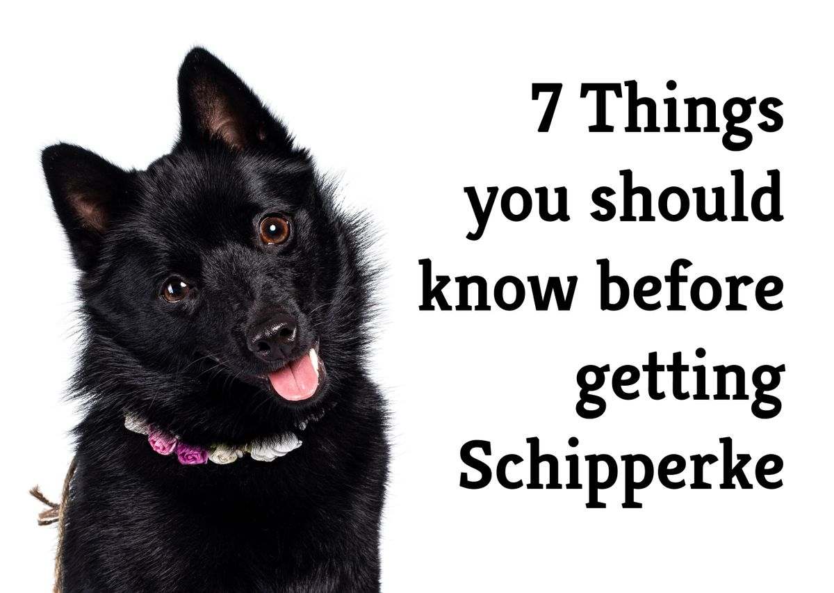 What are the 7 crucial pros and cons of getting a Schipperke?