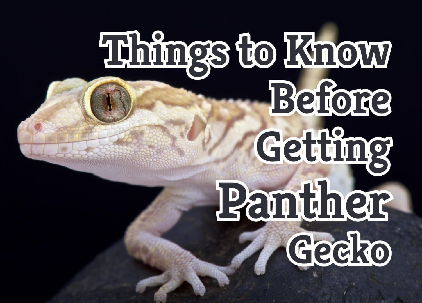 Important Things to know before getting Panther Gecko