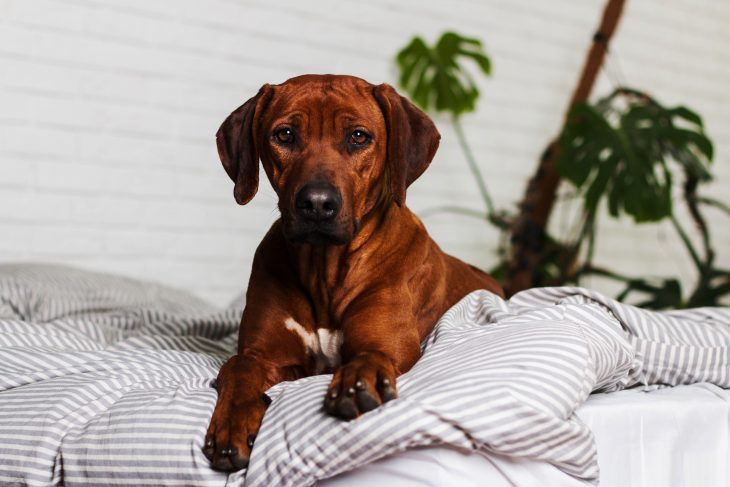 Rhodesian Ridgeback laying on the bed inside apartment.