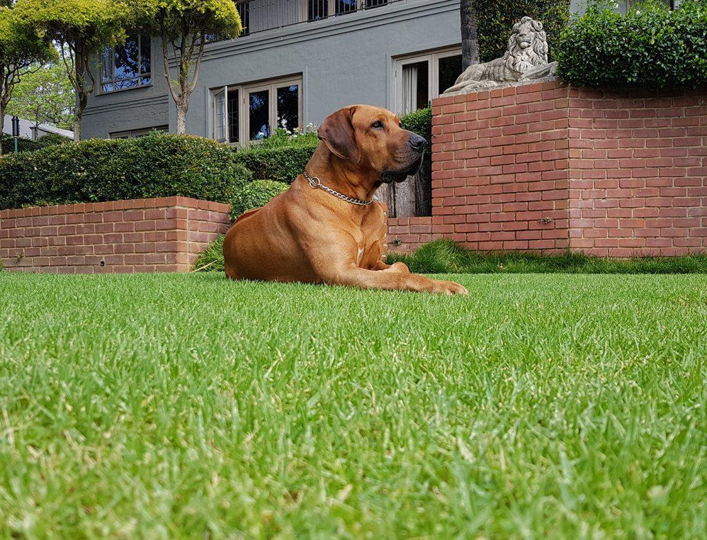 Rhodesian Ridgeback guarding the house.