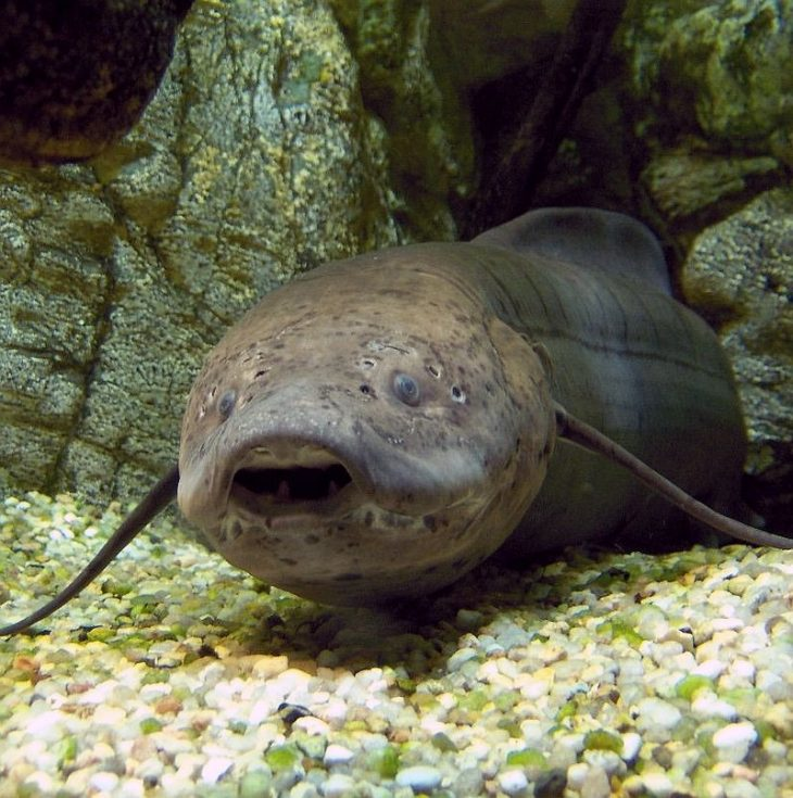 West African Lungfish