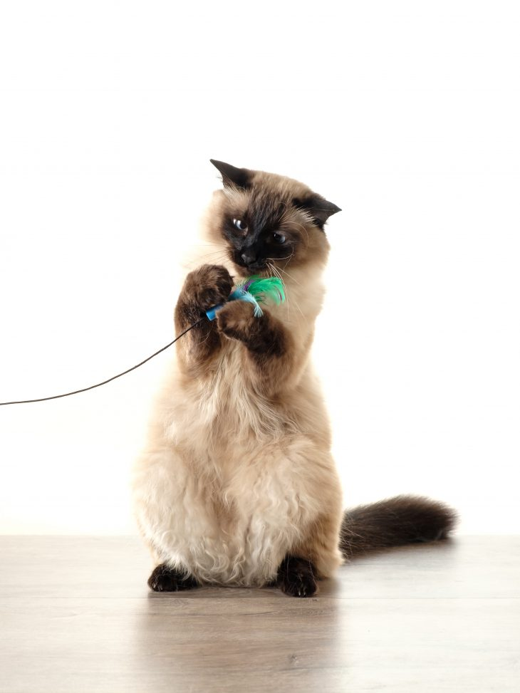 Are Balinese Cats Hypoallergenic Tips For Families With Allergies The Pets And Love