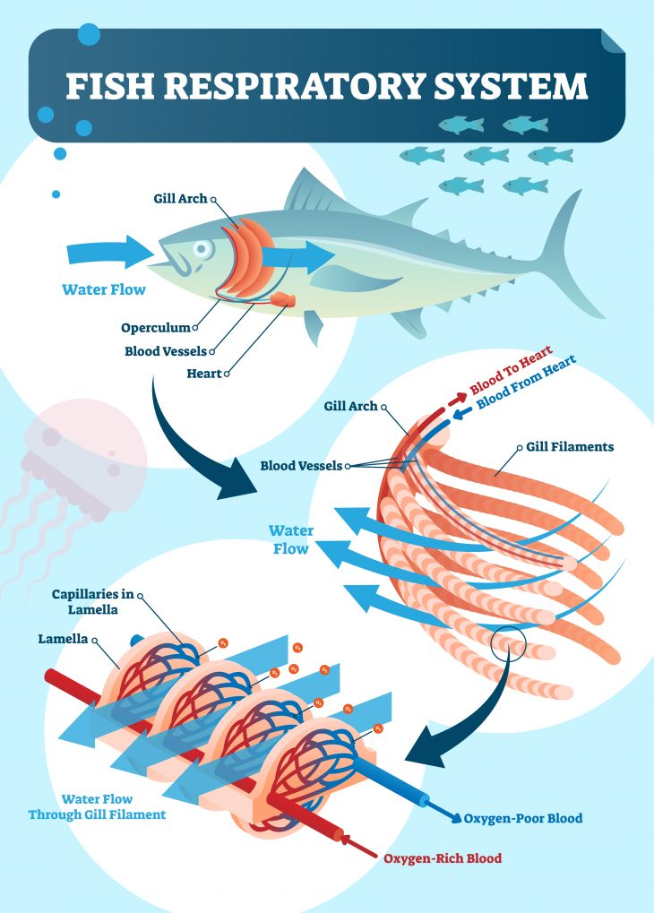 Fish prespiratory system infographics