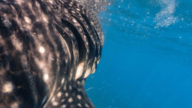 Shark gills