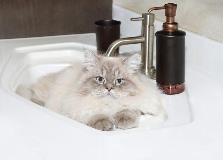 Himalayan cat laying