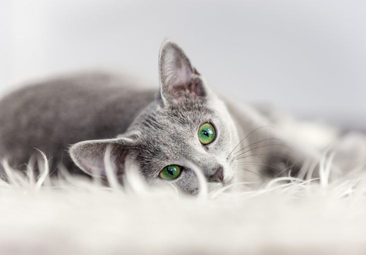Are Russian Blue Cats Hypoallergenic Tips For Families With Allergies The Pets And Love