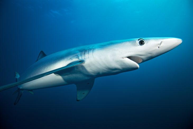 Blue shark swimming into the sea