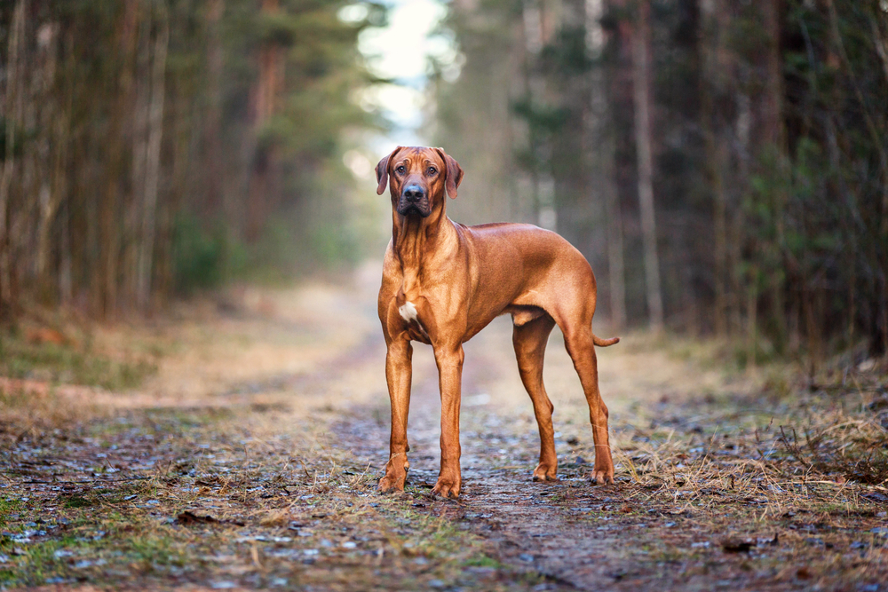 Muscular powerful appearance and intimidating stance of Rhodesian Ridgeback