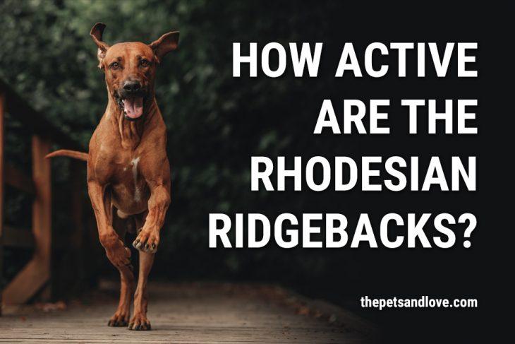 How active are the Rhodesian Ridgebacks?