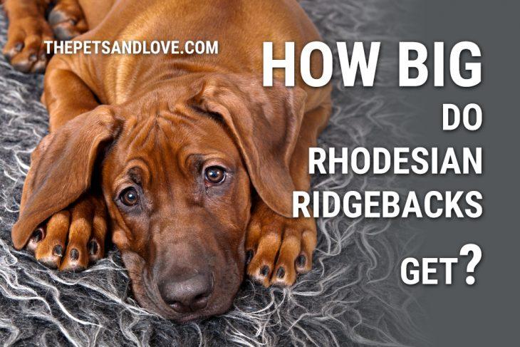 Big Rhodesian Ridgeback. How Big do Rhodesian Ridgebacks get?