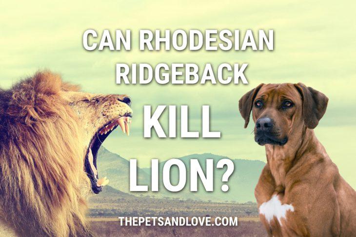 Can Rhodesian Ridgeback Kill A Lion?