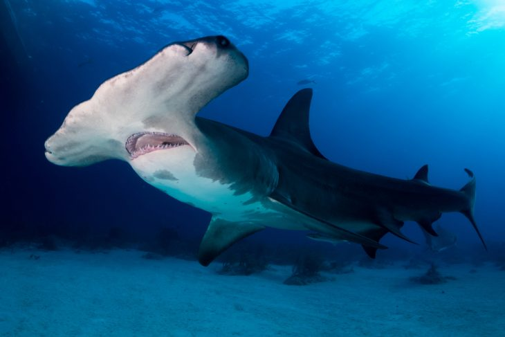 Great Hammerhead shark Bahamas