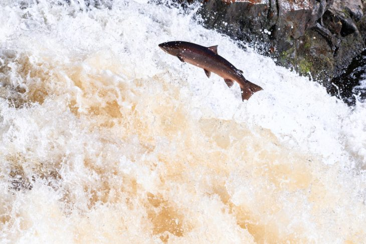 Wild Atlantic salmon travelling to spawning grounds during the summer in the Scottish highland on the Falls of Shin
