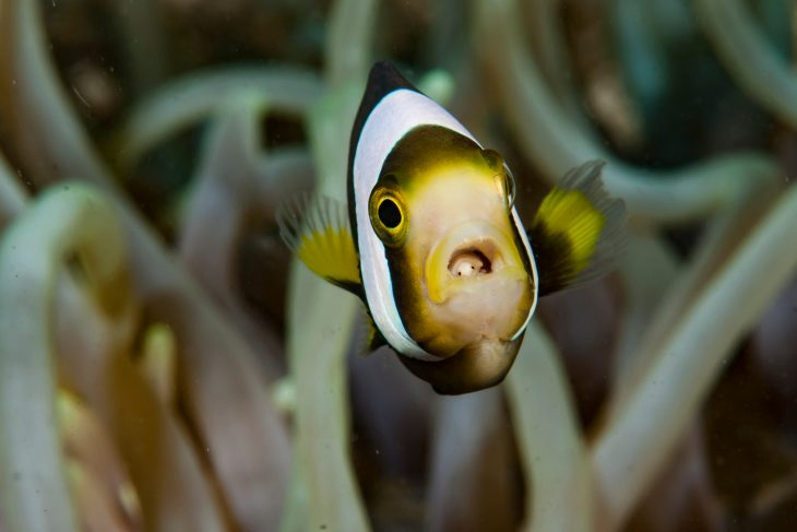 Panda anemonefish with tongue eater parasite