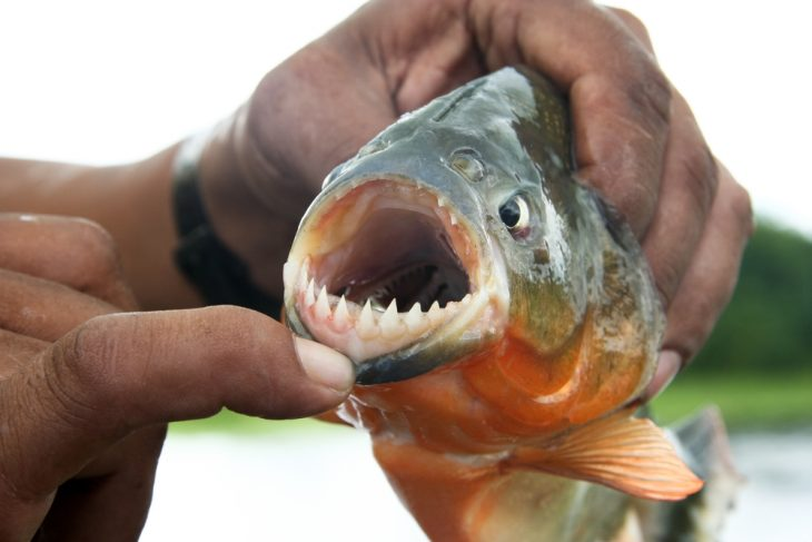 Piranha fish with opened mouth