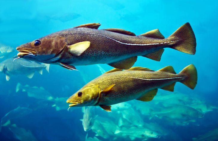 Cod fishes swimming in aquarium