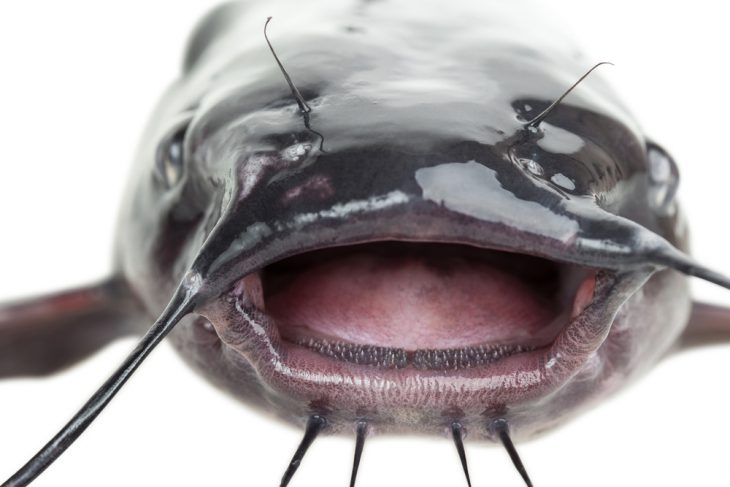 Open mouth the channel catfish