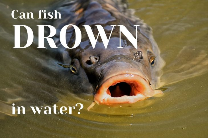 Can Fish Drown?