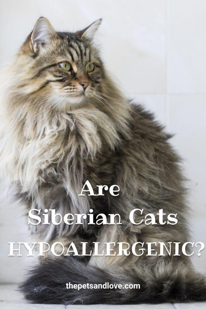 Are Siberian Cats Hypoallergenic?