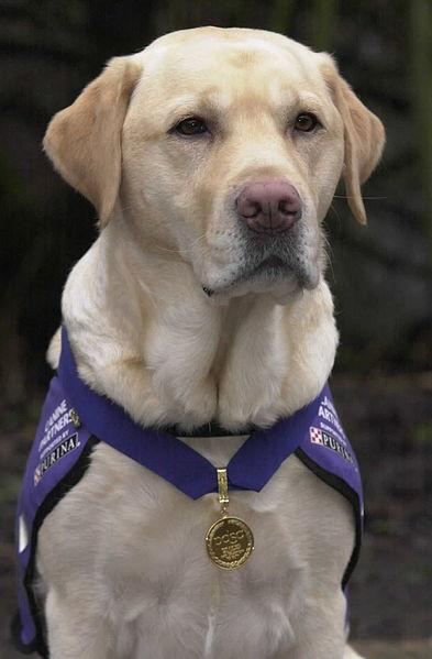 English service Labrador, Endal