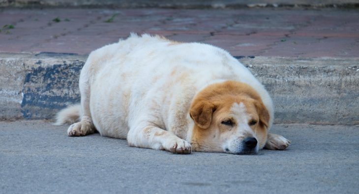 Fat labrador lying on the street