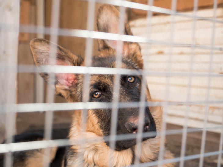German shepherd puppy inside the crate