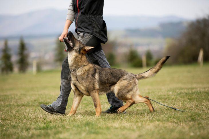 German thepherd is trained