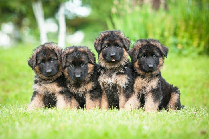 German shepherd four puppies