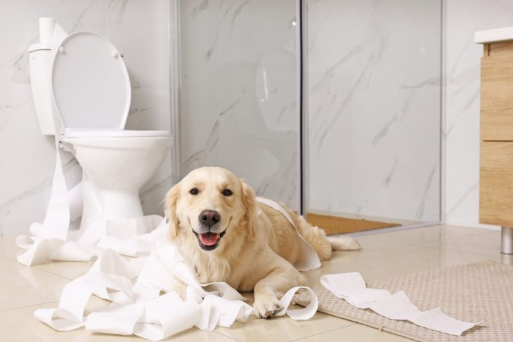 Labrador lying on the floor with the toilet paper