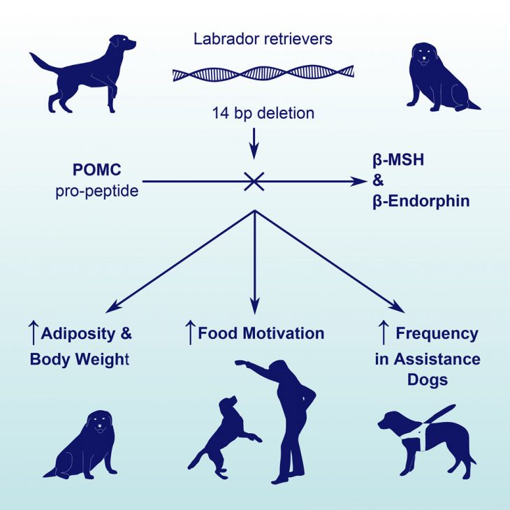A Deletion in the Canine POMCGene Is Associated with Weight and Appetite in Obesity-Prone Labrador Retriever Dogs