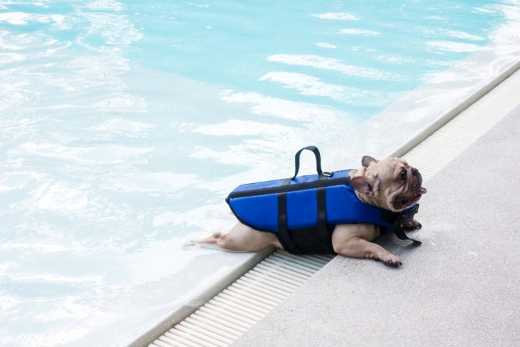 French bulldogs can not swim