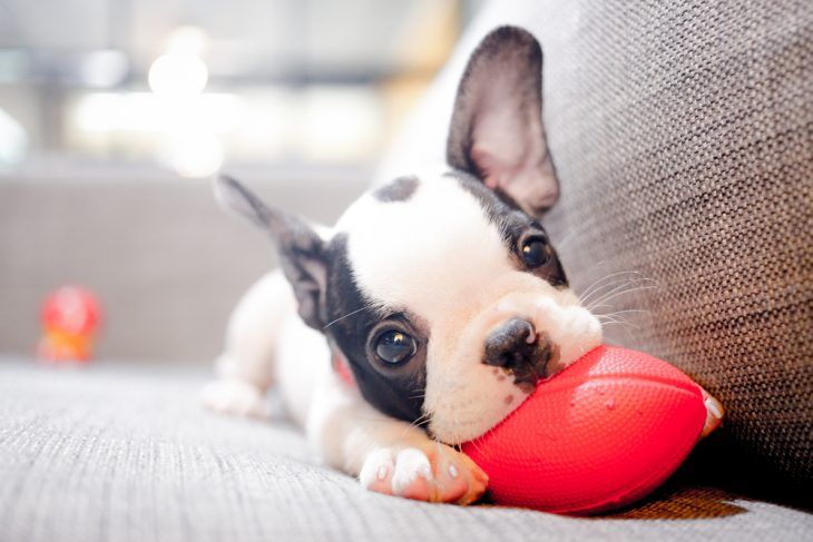 French bulldog puppy playing with a toy