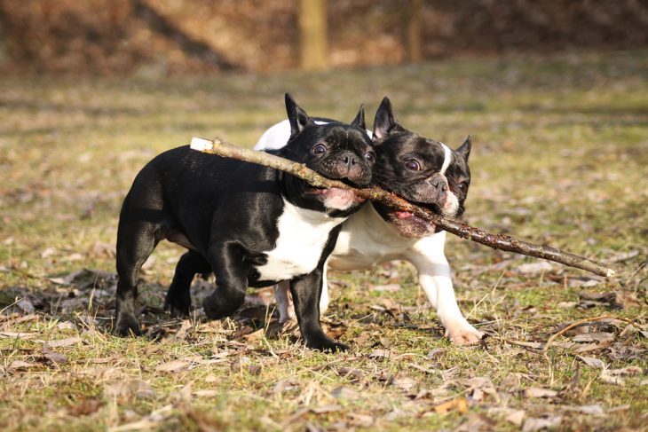 Two french bulldogs are playing outdoors