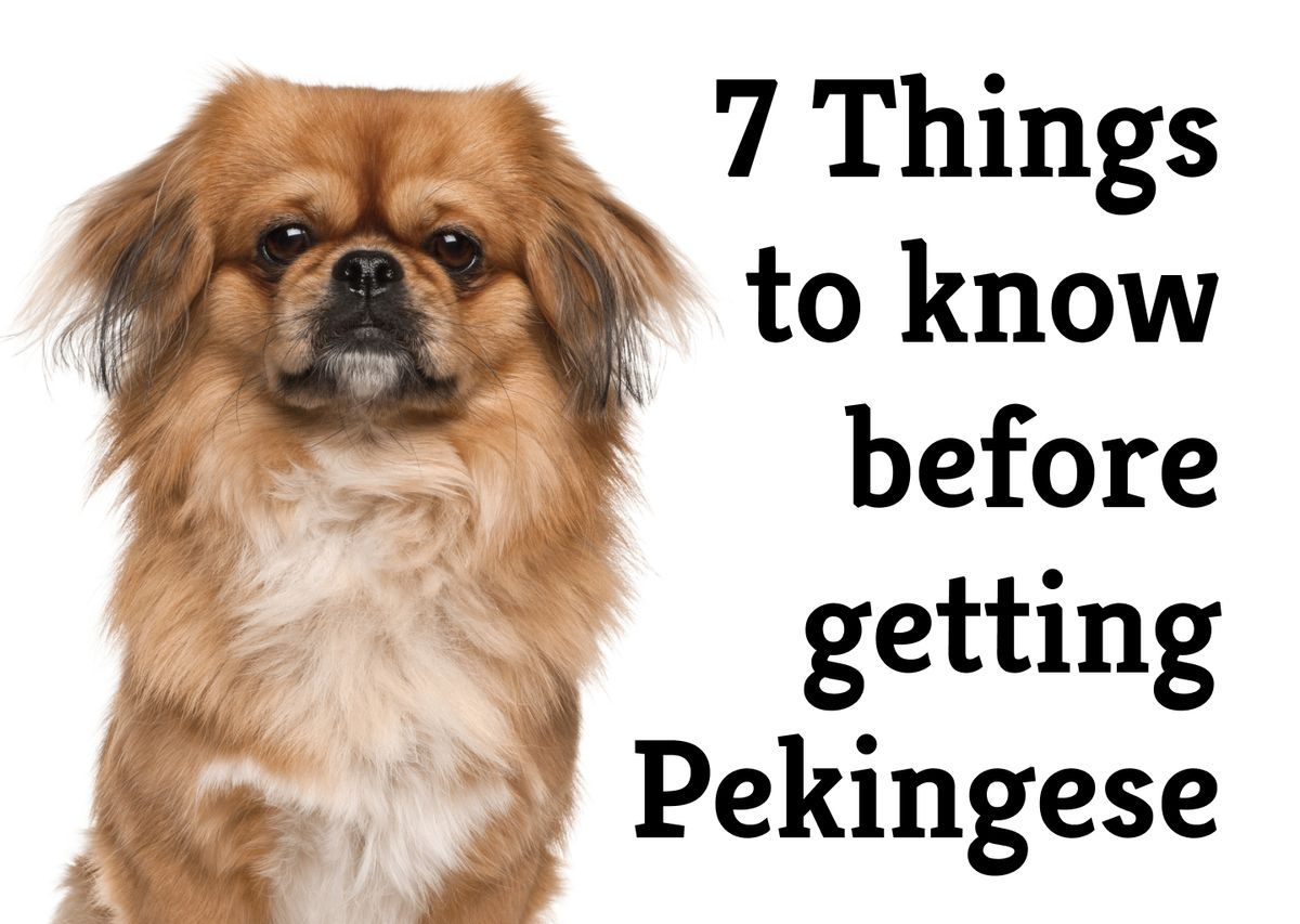 Your ideal household pet? 9 pros & cons about the Pekingese
